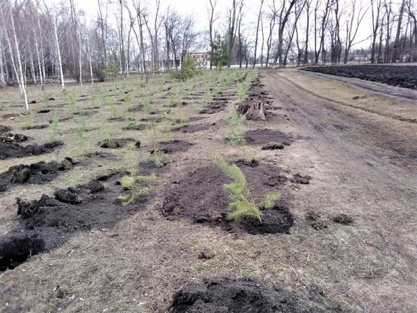 В Олександрійському районі висадили понад 300 сосен