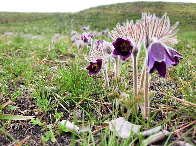 Весняна краса. На Олександрійщині цвіте чарівна сон-трава