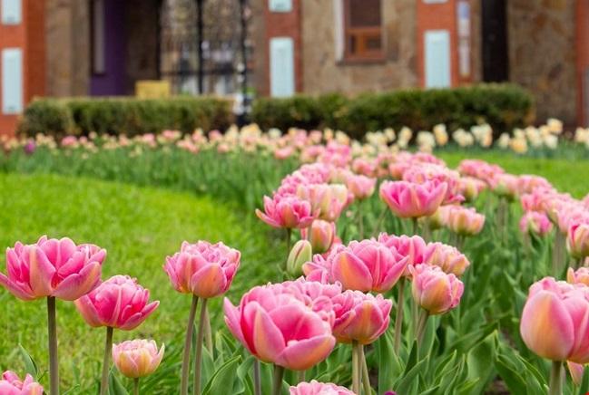 У Дендропарку почали квітнути 3 мільйони тюльпанів