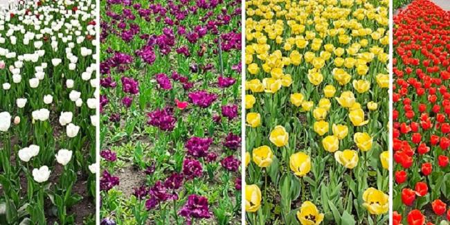 Тюльпани у кропивницькому Дендропарку квітнутимуть до кінця травня