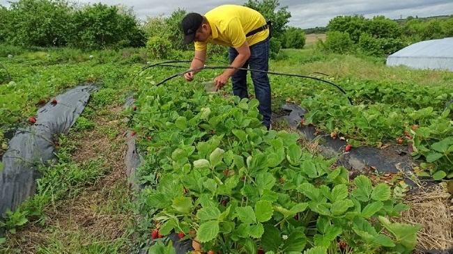Дві тонни полуниці на 15 сотках за місяць зібрав фермер з Олександрійщини