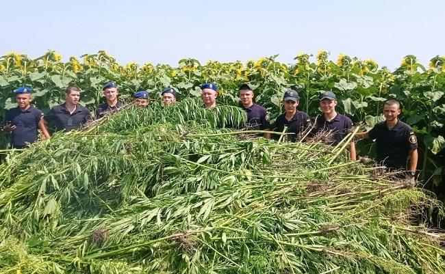 На Кіровоградщині виявили плантацію конопель на 10 млн гривень