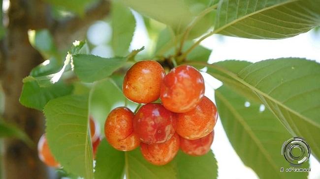 Чеські, канадські і голландські сорти черешні вирощують на Олександрійщині