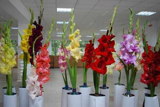 Фестиваль гладіолусів відбудеться в Олександрії
