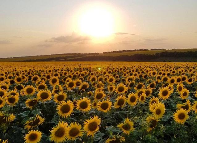 Жовтогаряча краса на Олескандрійщині