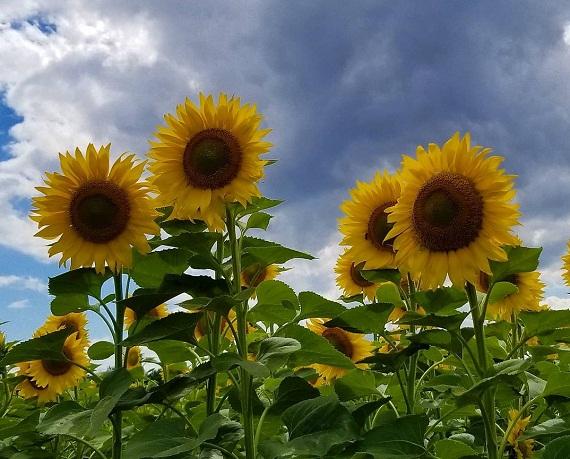 На Олександрійщині чарує очі соняшникова краса