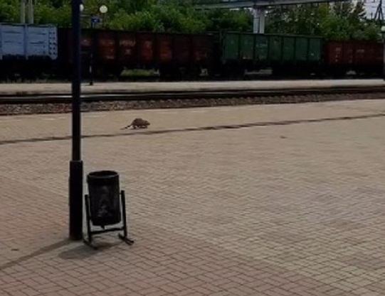 На залізничному вокзалі в Олександрії гуляв великий гризун (Відео)