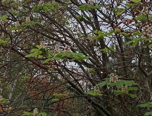 В одному із сіл Кіровоградщини розцвіли каштани
