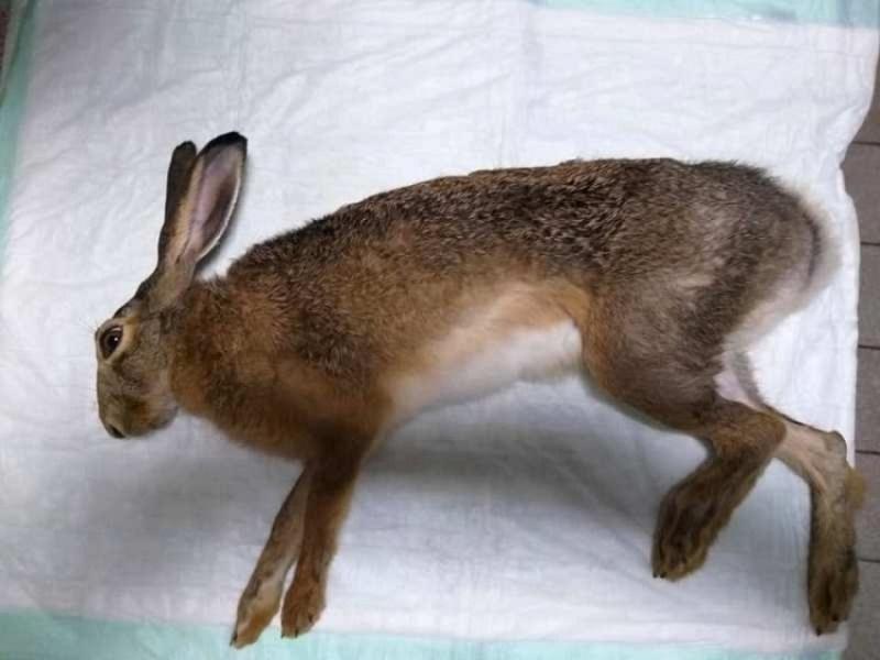 В Олександрії лікарі врятували життя зайцю
