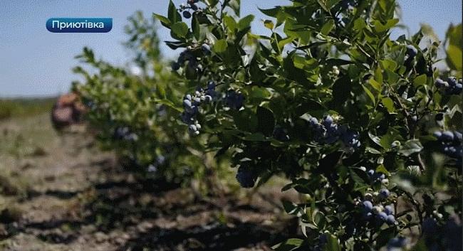 Другий урожай лохини зібрали на Олександрійщині (ВІДЕО)